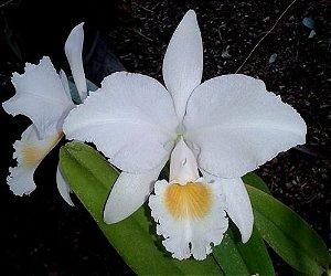 Cattleya Trianae Alba - Pre Adulta