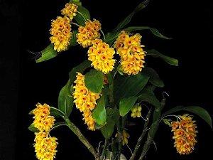 Dendrobium Sulcatum - Pré Adulto