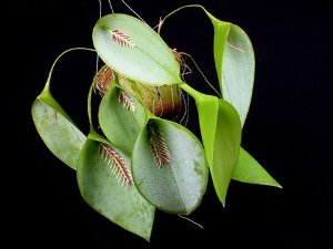 Acianthera (Pleurothallis) Pectinata - Adulta
