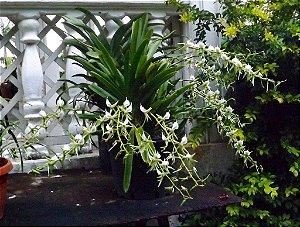 Angraecum Eburneum - Adulto