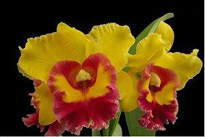 Blc. Chunyeah Yellow Swallow – Tamanho 3