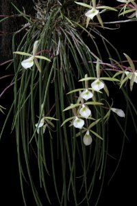 Brassavola Tuberculata - Pré Adulta