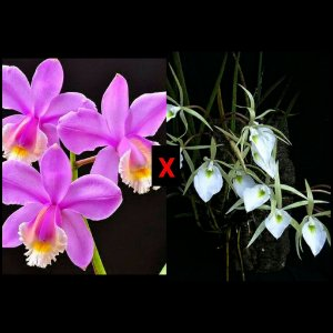 Brassavola Tuberculata x Cattleya Harrisoniana - Pré Adulta