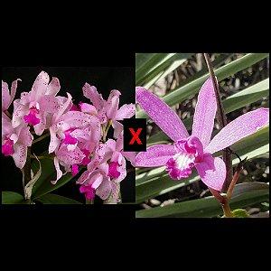 Cattleya Amethystoglossa x Hoff. Pfisteri - Pré Adulta