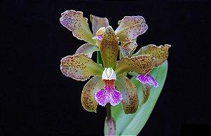 Cattleya Granulosa - Tamanho 3