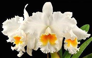 Cattleya Old White - Tamanho 3