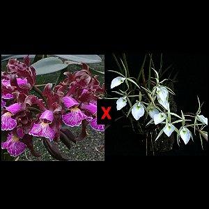 Cattleya Schilleriana x Brassavola Tuberculata - Tamanho 3