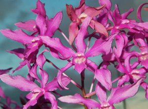 Caulaelia Orchidglade - Tamanho 3