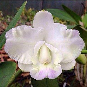 C. Hamana Surprise 'White Bee' no vaso sofisticado- Adulta