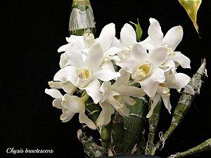 Chysis Bractescens -  Adulta