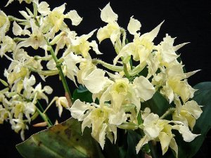 Dendrobium Forbesii - Tamanho 3