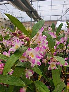 Dendrobium Importado do Japão - Adulto