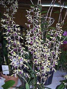 Dendrobium Pixie Princess - Adulto