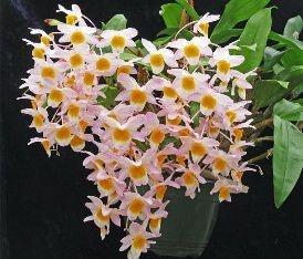 Dendrobium Rosy Cluster - Adulto
