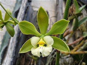 Encyclia Alboxanthina - Tamanho 3