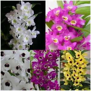 Kit 5 Dendrobium Nobile (Olho de Boneca) - Pré Adulto