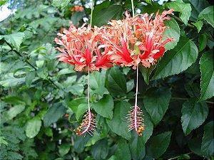 HIBISCO CRESPO - Hibiscus schizopetalus