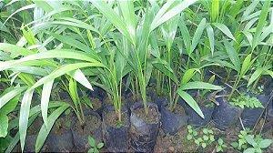 Palmeira-areca Bambu – Dypsis lutescens - mudas 20cm