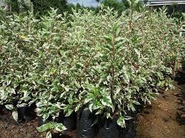 Hibisco Variegato – Hibiscus rosa-sinensis - 25cm