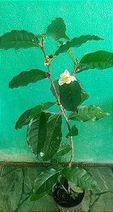 Chá verde (camélia sinensis ) 70cm - Formada