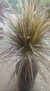 Dracena Tricolor 50cm