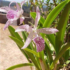 Orquídea Maikay Louisse