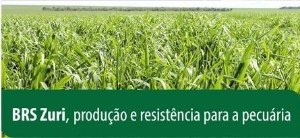 Panicum maximum cv. BRS ZURI - Revestido  (Embalagem 12 kg) - Preço por kg: R$ 14,37