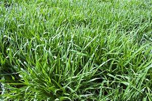 Brachiaria Híbrida cv. BRS Ipyporã - Revestida (Embalagem 12 kg) - Preço por kg: R$ 15,38