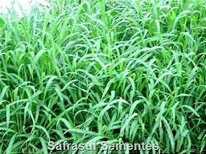 Panicum maximum cv. ARUANA IZ5 - Revestida (Embalagem de 10 kg) - Preço p/kg: R$ 20,35