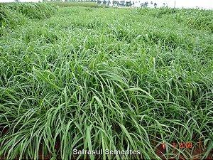 Brachiaria ruziziensis cv. RUZIZIENSIS - Revestida (Embalagem 10kg) - Preço p/kg: R$ 10,40