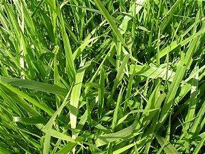Brachiaria decumbens cv. BASILISK - Revestida (Embalagem 10kg) - Preço p/kg: R$ 13,67