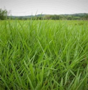 Brachiaria humidícola cv. HUMIDÍCOLA - Revestida (Embalagem 12 kg) - Preço por kg: R$ 48,53