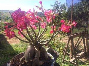 Big Plant - Rosa do Deserto de grande porte