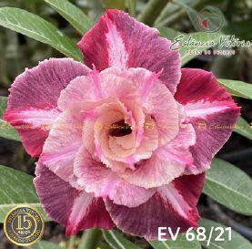 Muda Rosa do Deserto de enxerto com flor dobrada na cor matizada - EV68/21