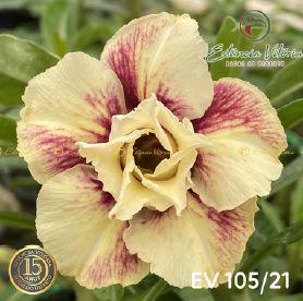 Muda Rosa do Deserto de enxerto com flor dobrada na cor matizada PERFUMADA - EV105/21