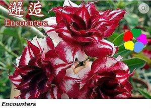 Flor Tripla - Kit com 3 sementes - Encounters - Chang Ping