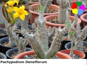 Pachypodium Densiflorum - Kit com 3 sementes - Chang Ping