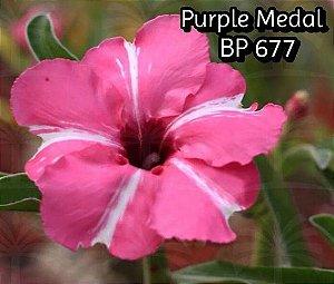 Enxerto com flor simples na cor Rosa Matizada BP 677 Purple Medal