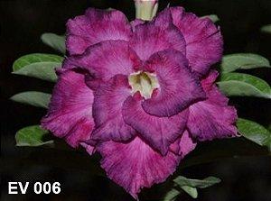 Enxerto de uma cor com flor Dobrada - EV006