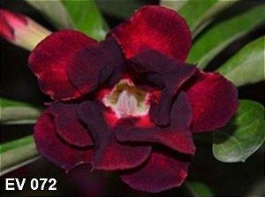 Enxerto de uma cor com flor Dobrada - EV072