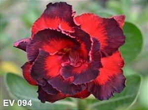 Enxerto de uma cor com flor Dobrada - EV094
