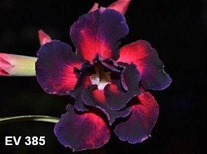Enxerto de uma cor com flor Dobrada - EV385