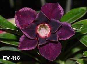 Enxerto de uma cor com flor Dobrada - EV418