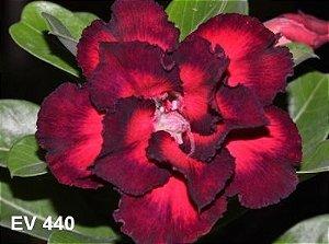 Enxerto de uma cor com flor Dobrada - EV440