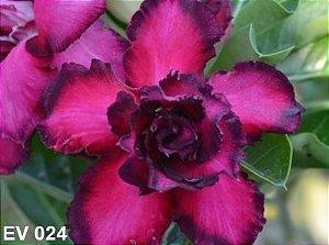 Enxerto de uma cor com flor Tripla - EV024