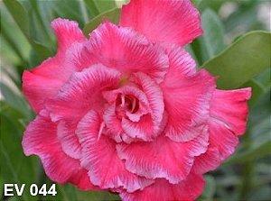 Enxerto de uma cor com flor Tripla - EV044