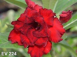 Enxerto de uma cor com flor Tripla - EV224