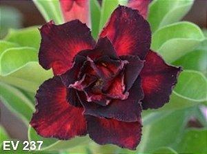 Enxerto de uma cor com flor Tripla - EV237