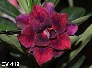 Enxerto de uma cor com flor Tripla - EV419