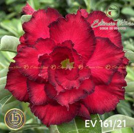 Muda Rosa do Deserto de enxerto com flor tripla na cor vermelha - EV161/21